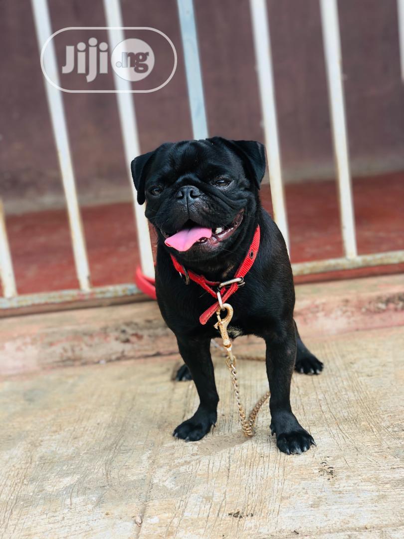 Archive: 1+ Year Male Purebred Pug