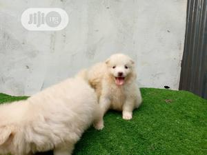 1-3 Month Female Purebred American Eskimo | Dogs & Puppies for sale in Lagos State, Ikotun/Igando