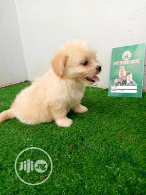1-3 Month Female Purebred Lhasa Apso | Dogs & Puppies for sale in Lagos State, Ikotun/Igando