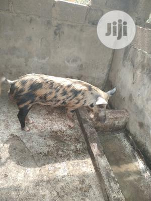 Mature Boar | Livestock & Poultry for sale in Osun State, Egbedore