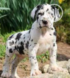 1-3 Month Female Purebred Great Dane | Dogs & Puppies for sale in Lagos State, Surulere