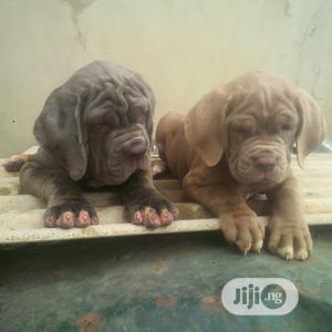 1-3 Month Male Purebred Neapolitan Mastiff   Dogs & Puppies for sale in Enugu State, Enugu