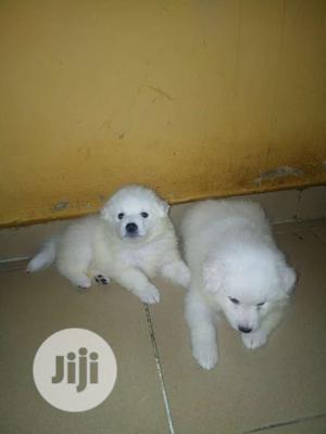 1-3 Month Female Purebred American Eskimo   Dogs & Puppies for sale in Enugu State, Enugu