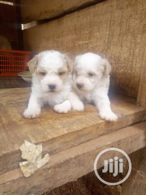 1-3 Month Male Purebred Lhasa Apso   Dogs & Puppies for sale in Enugu State, Enugu