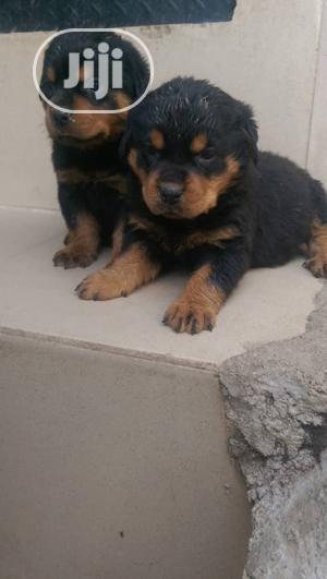1-3 Month Male Purebred Rottweiler   Dogs & Puppies for sale in Enugu State, Enugu
