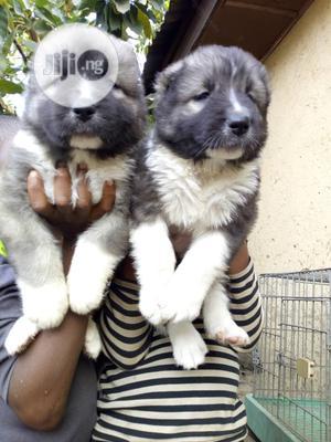 1-3 Month Female Purebred Caucasian Shepherd   Dogs & Puppies for sale in Enugu State, Enugu
