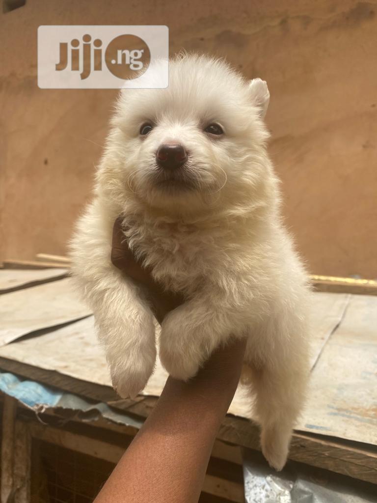 1-3 Month Male Purebred American Eskimo   Dogs & Puppies for sale in Alimosho, Lagos State, Nigeria