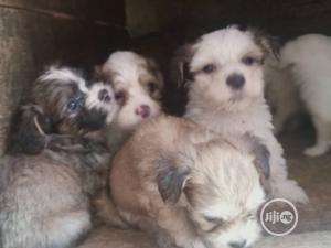 1-3 Month Female Purebred Lhasa Apso   Dogs & Puppies for sale in Enugu State, Enugu