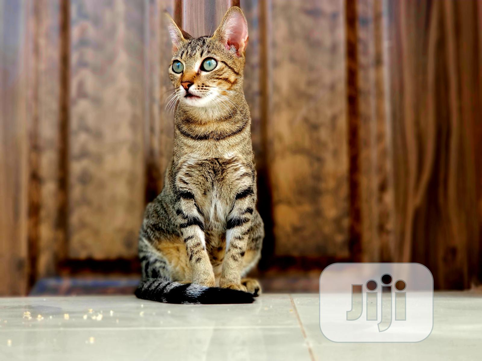 1-3 Month Female Mixed Breed Savannah | Cats & Kittens for sale in Alimosho, Lagos State, Nigeria