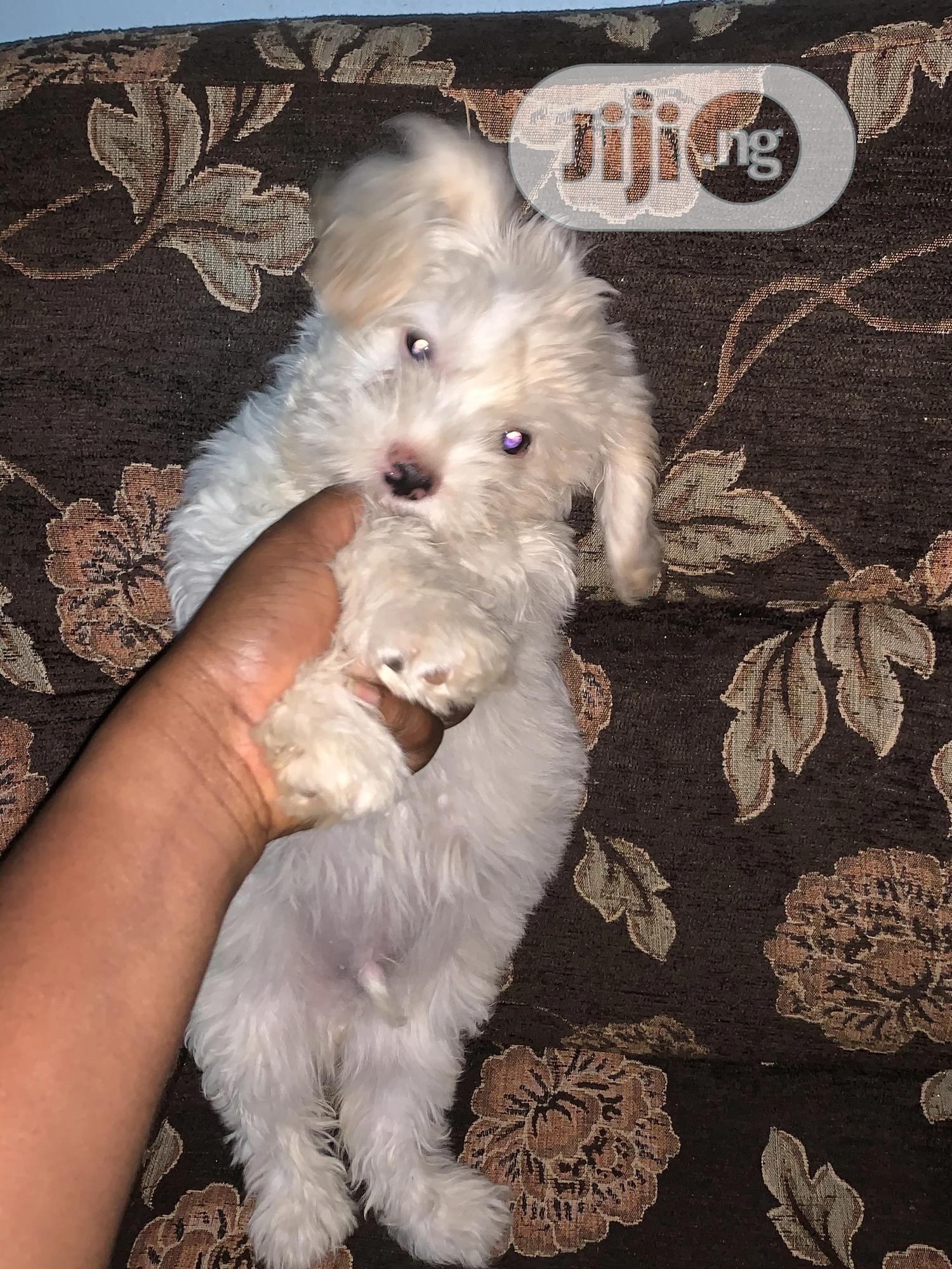 1-3 Month Male Purebred Lhasa Apso | Dogs & Puppies for sale in Central Business Dis, Abuja (FCT) State, Nigeria