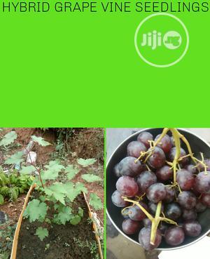 Hybrid Grapenvine Seedlings   Feeds, Supplements & Seeds for sale in Lagos State, Ojodu