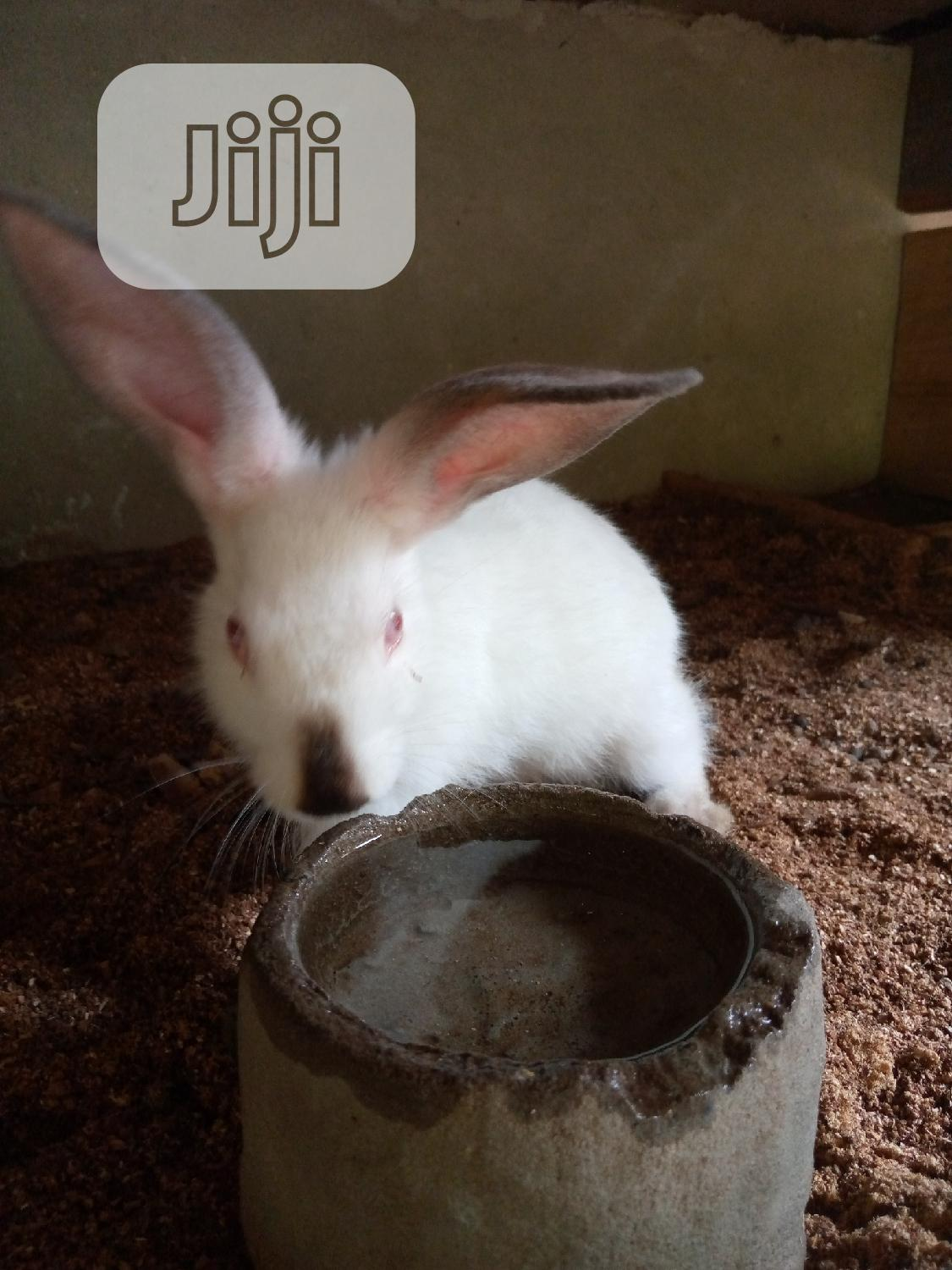 Rabbits for Sale | Livestock & Poultry for sale in Uyo, Akwa Ibom State, Nigeria