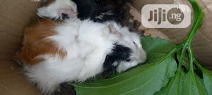 Abbysinian Guinea Pigs | Livestock & Poultry for sale in Akwa Ibom State, Uyo