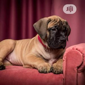 3-6 Month Male Purebred Boerboel   Dogs & Puppies for sale in Lagos State, Isolo