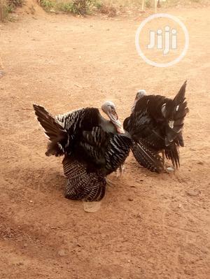 Mature Male Turkey | Livestock & Poultry for sale in Ogun State, Ado-Odo/Ota