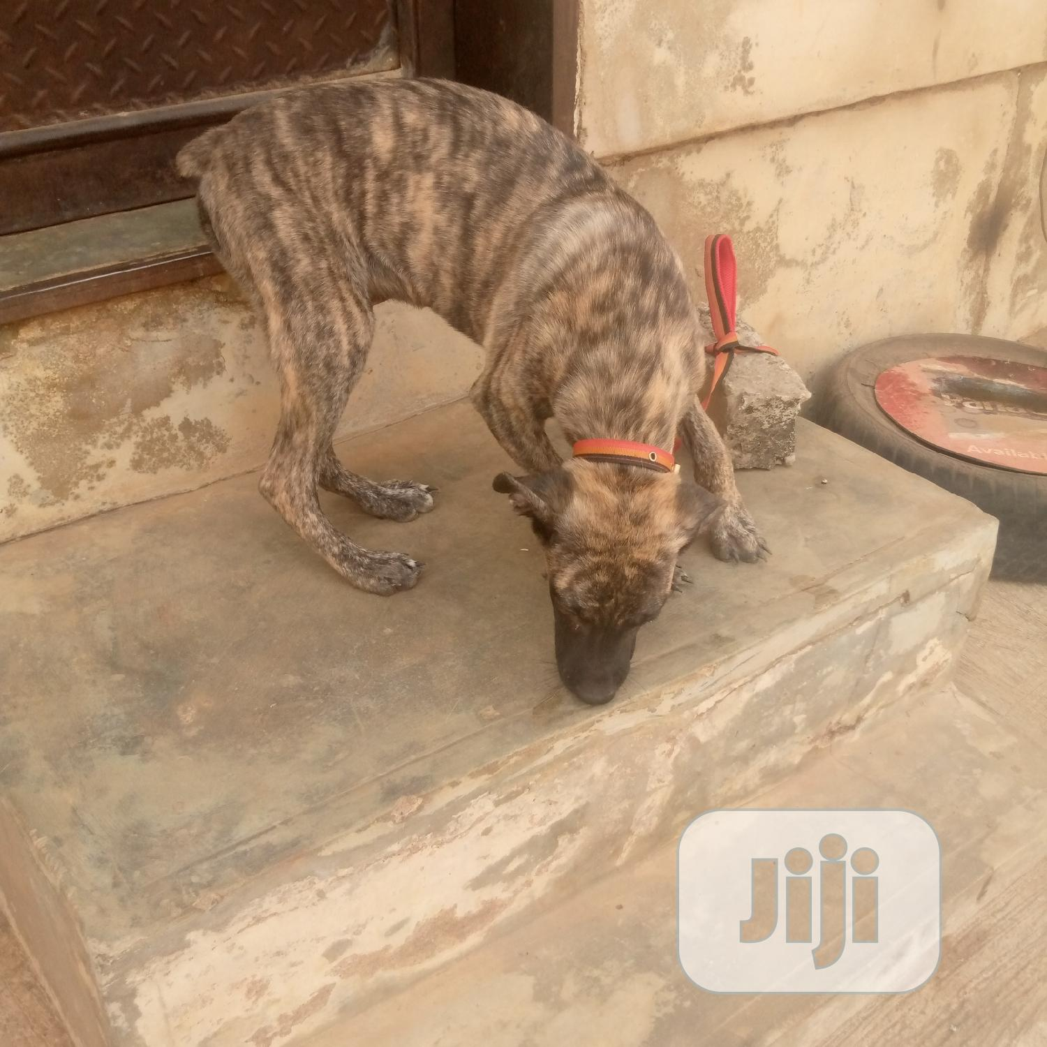 Archive: 3-6 Month Male Purebred Boerboel