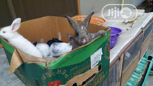 Healthy Rabbits   Livestock & Poultry for sale in Lagos State, Surulere