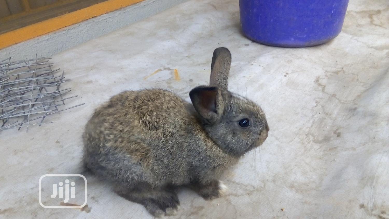 Healthy Rabbits   Livestock & Poultry for sale in Surulere, Lagos State, Nigeria