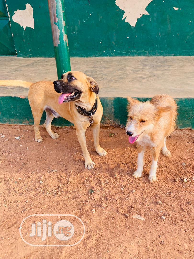 1+ year Male Purebred Boerboel | Dogs & Puppies for sale in Remo North, Ogun State, Nigeria