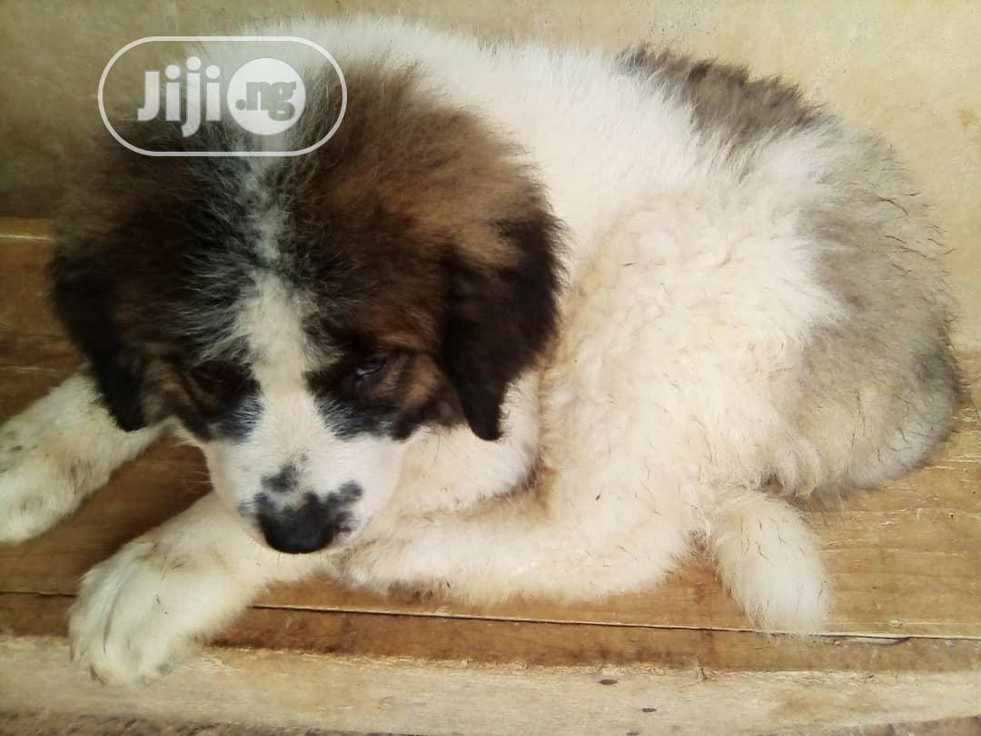 1-3 Month Female Purebred Caucasian Shepherd | Dogs & Puppies for sale in Lekki, Lagos State, Nigeria
