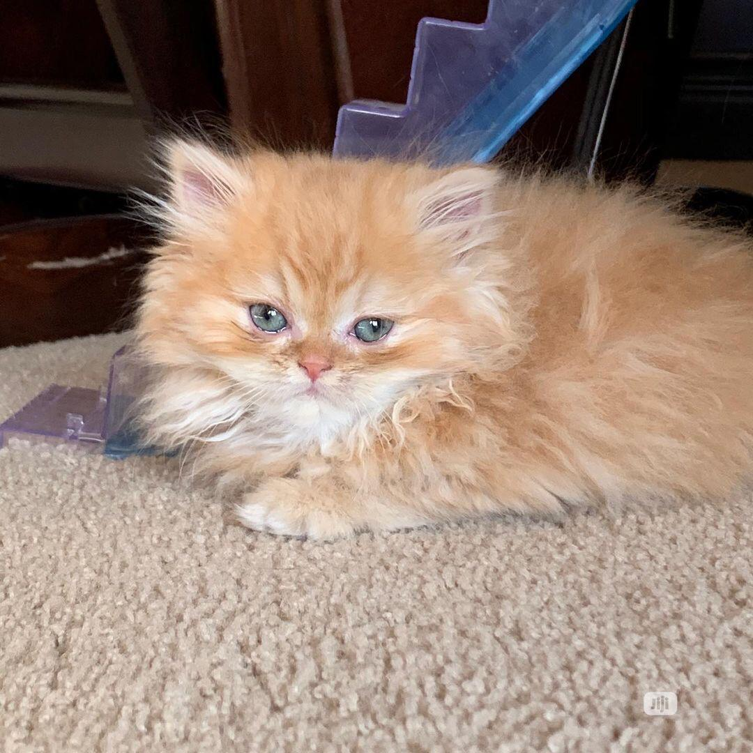 1-3 Month Female Purebred Persian