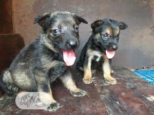 0-1 Month Female Purebred German Shepherd   Dogs & Puppies for sale in Lagos State, Ikorodu