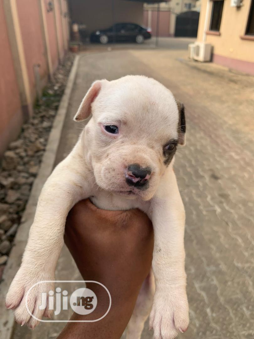 Archive: 1-3 Month Male Purebred American Pit Bull Terrier