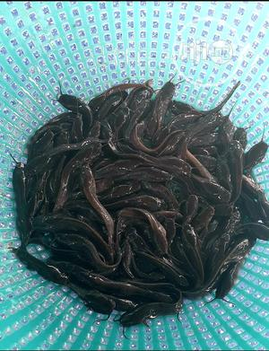 Cat Fish Post Fingerlings And Juvenile | Livestock & Poultry for sale in Abuja (FCT) State, Jikwoyi
