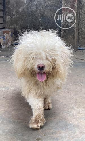 Solid Male Lhasa Apso Available for Stud   Pet Services for sale in Lagos State, Alimosho
