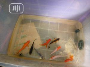 Japanese Koi Fish | Fish for sale in Lagos State, Surulere