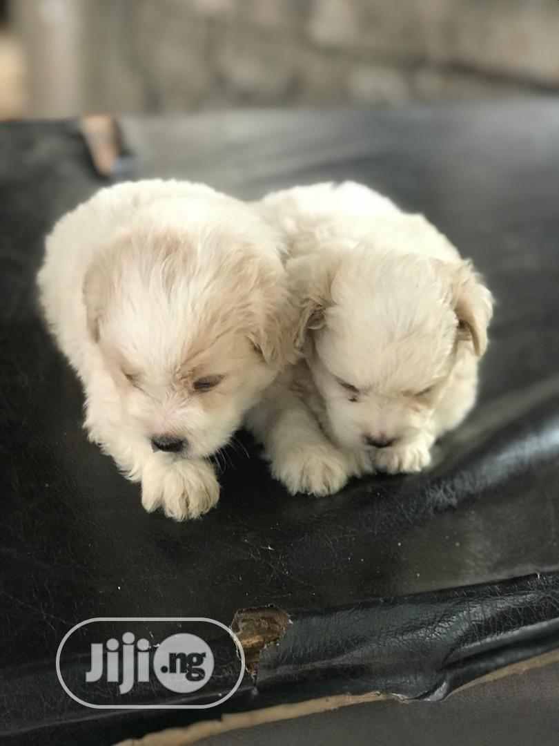 Archive: 0-1 Month Female Purebred Lhasa Apso