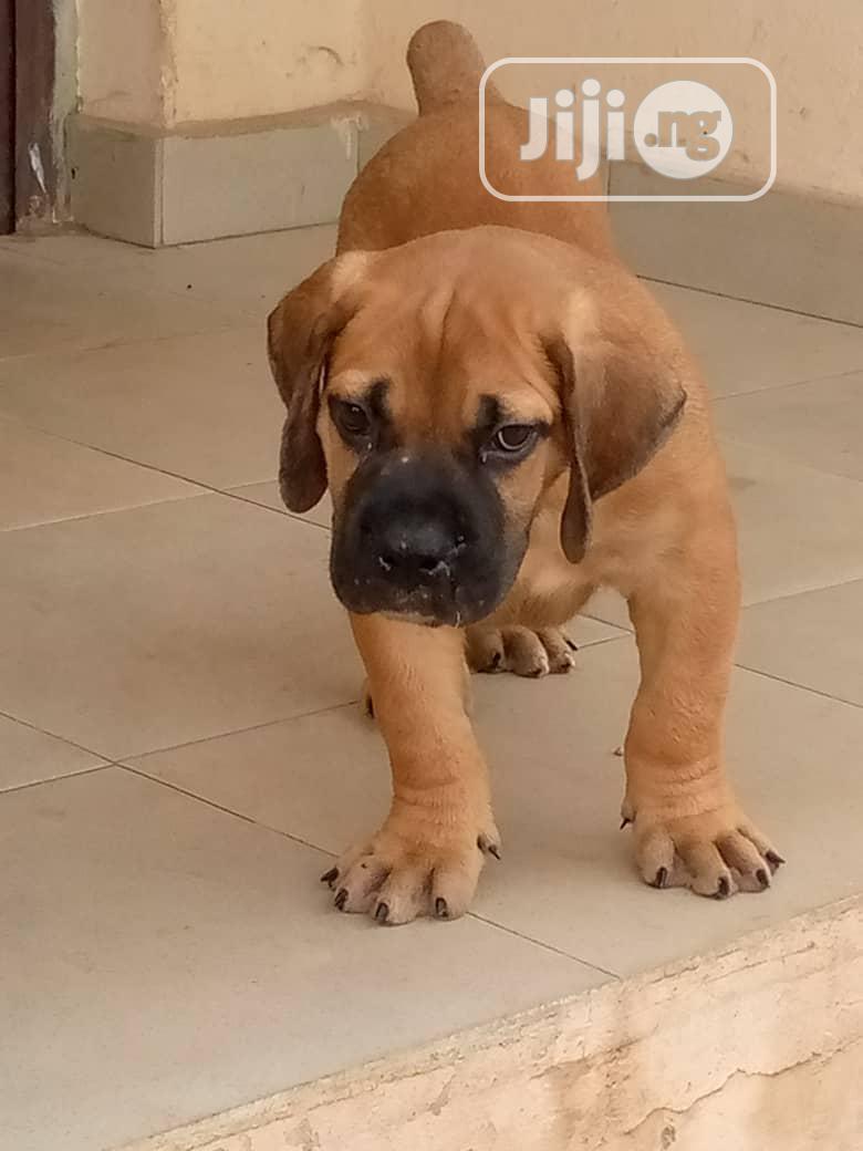 1-3 Month Female Purebred Boerboel   Dogs & Puppies for sale in Victoria Island, Lagos State, Nigeria