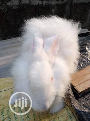 6month Pure Bred Angora Pet Rabbit   Livestock & Poultry for sale in Lagos State, Abule Egba