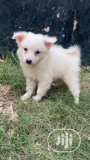 1-3 Month Female Purebred American Eskimo | Dogs & Puppies for sale in Lagos State, Ifako-Ijaiye