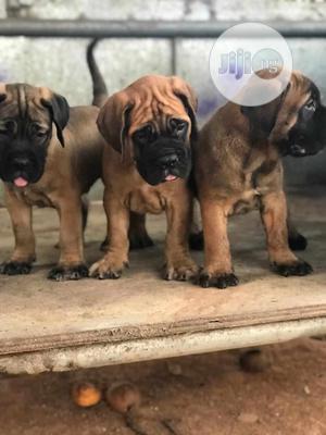 1-3 Month Male Purebred Bullmastiff   Dogs & Puppies for sale in Lagos State, Victoria Island
