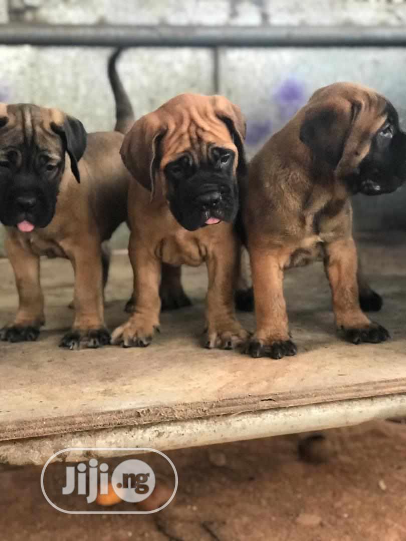 1-3 Month Male Purebred Bullmastiff