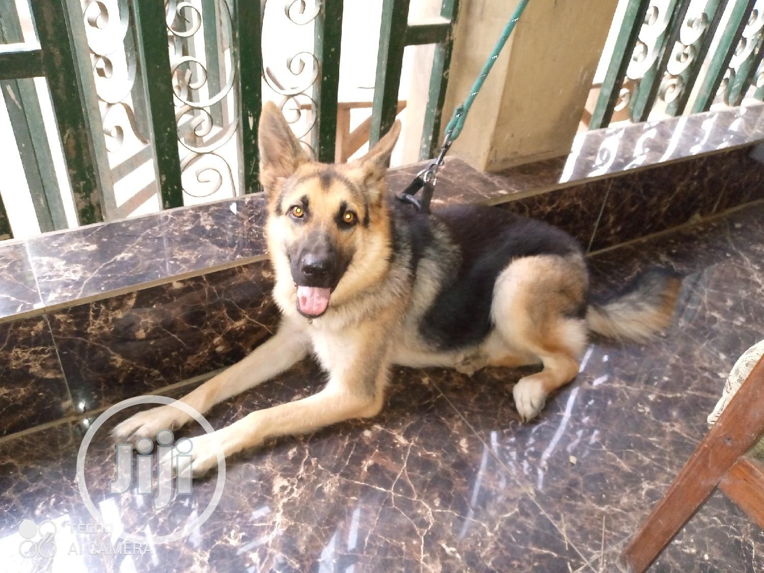 Archive: 1+ Year Female Purebred German Shepherd