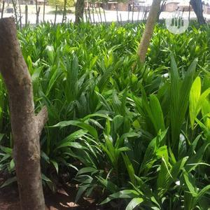 Oil Palm Seedlings | Feeds, Supplements & Seeds for sale in Ogun State, Odeda