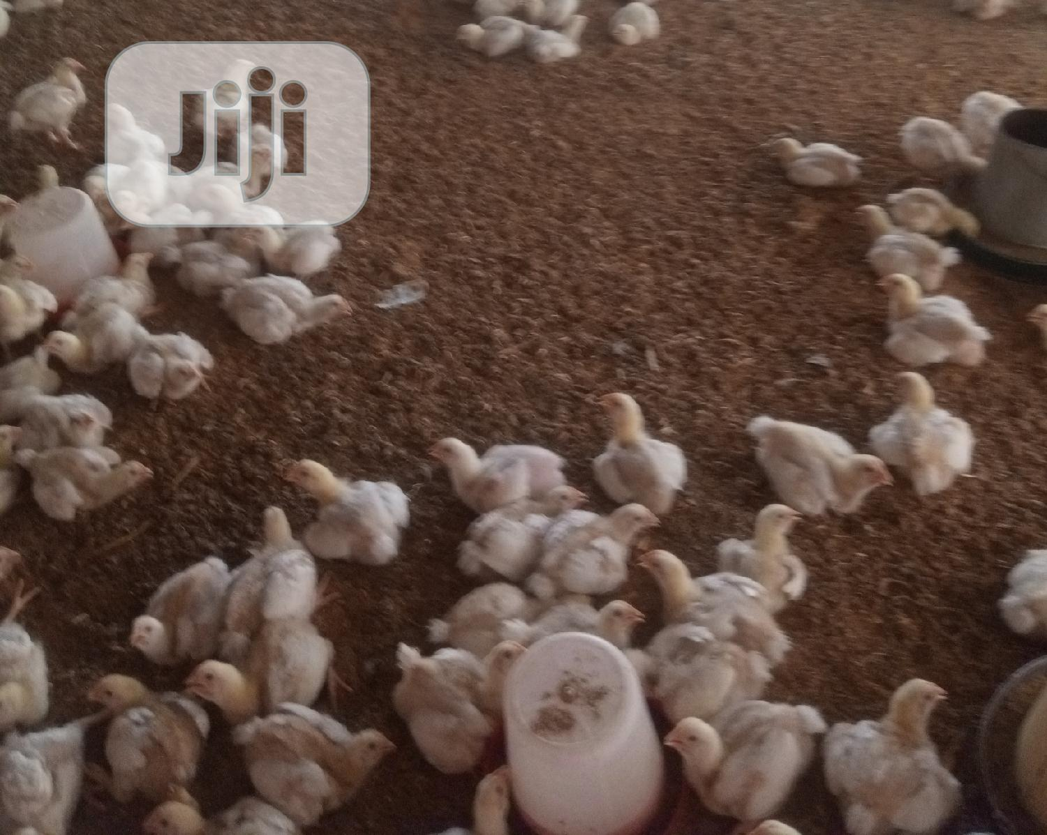 Archive: Two Weeks Broiler Chickens