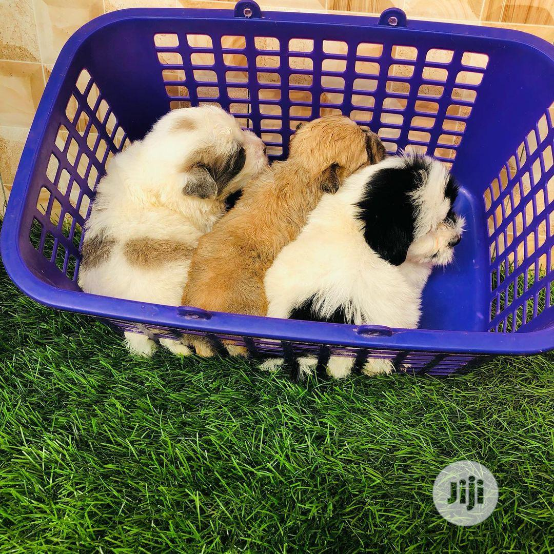 1-3 Month Male Purebred Lhasa Apso | Dogs & Puppies for sale in Ikorodu, Lagos State, Nigeria