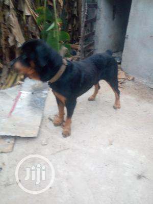1+ Year Male Purebred Rottweiler   Dogs & Puppies for sale in Rivers State, Port-Harcourt