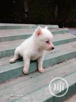 1-3 month Male Purebred American Eskimo | Dogs & Puppies for sale in Delta State, Warri