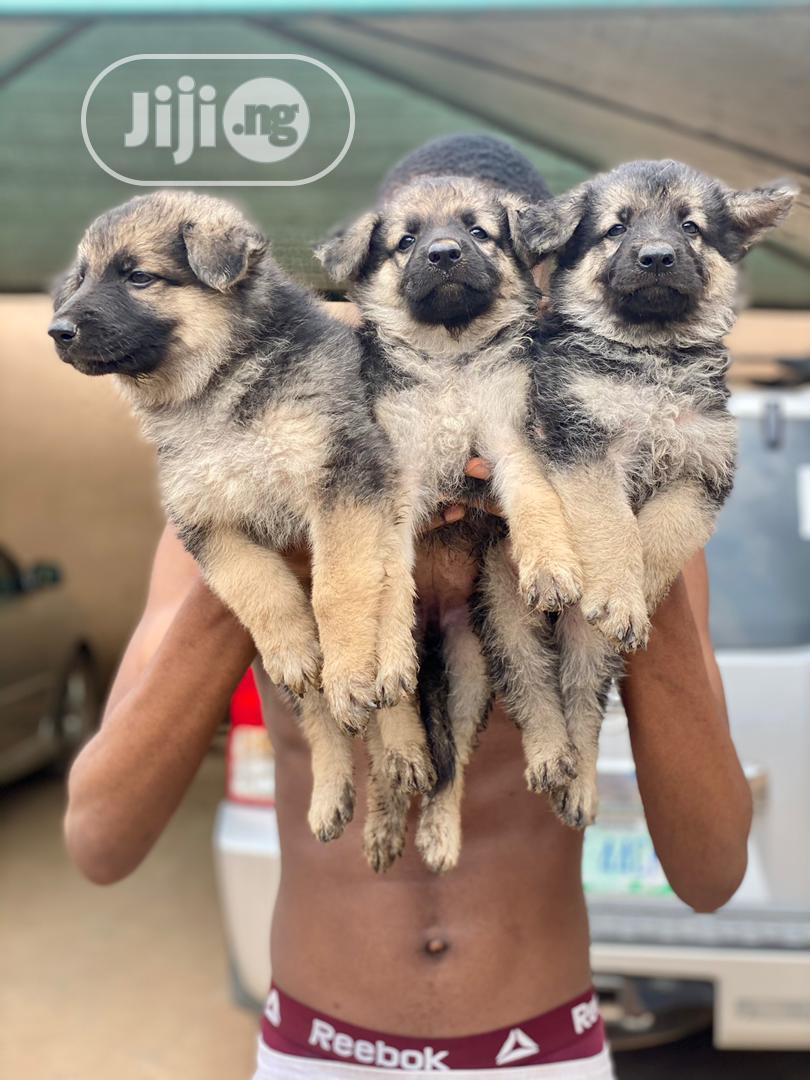 0-1 month Male Purebred German Shepherd