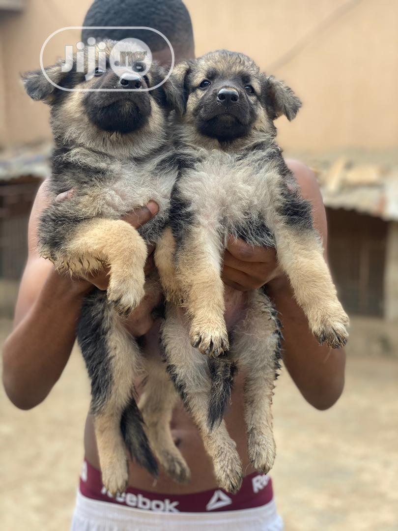 0-1 month Male Purebred German Shepherd   Dogs & Puppies for sale in Amuwo-Odofin, Lagos State, Nigeria