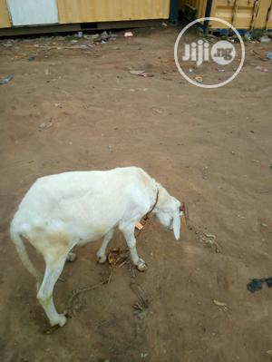 Healthy Ram White   Livestock & Poultry for sale in Lagos State, Gbagada
