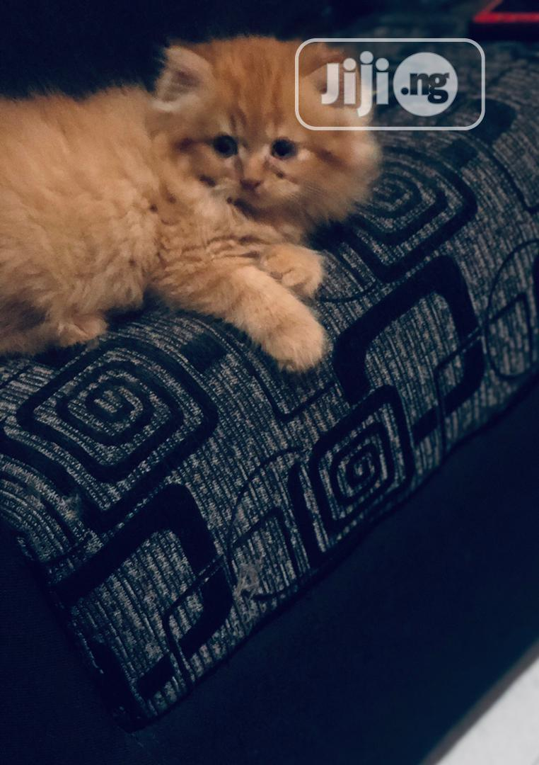 1-3 Month Female Purebred Persian   Cats & Kittens for sale in Maryland, Lagos State, Nigeria