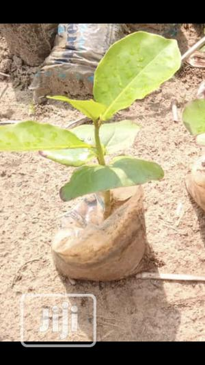Almond Seedlings   Feeds, Supplements & Seeds for sale in Oyo State, Ibadan