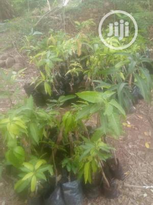 Mango Seedlings | Feeds, Supplements & Seeds for sale in Oyo State, Ibadan