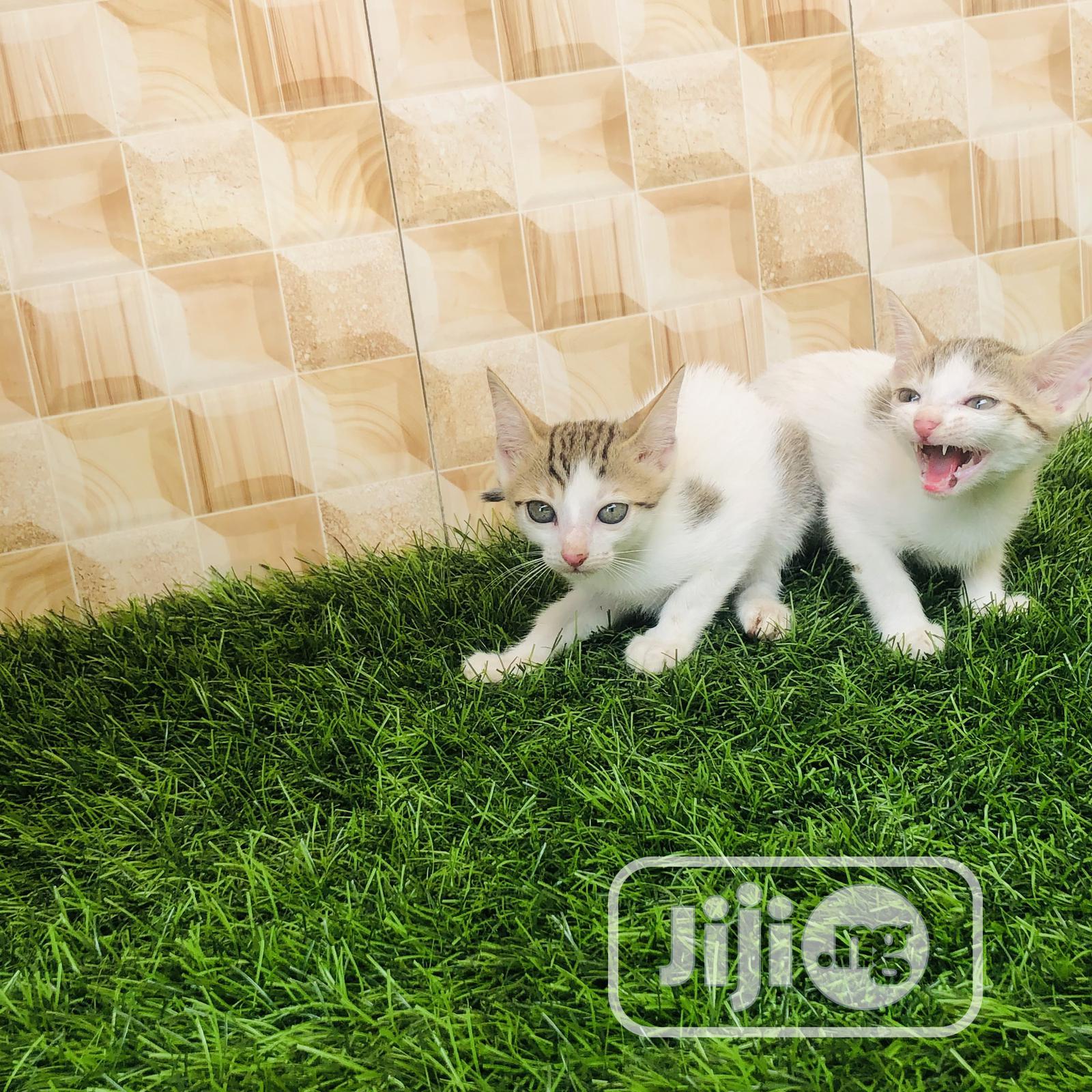 1-3 month Female Purebred Cat