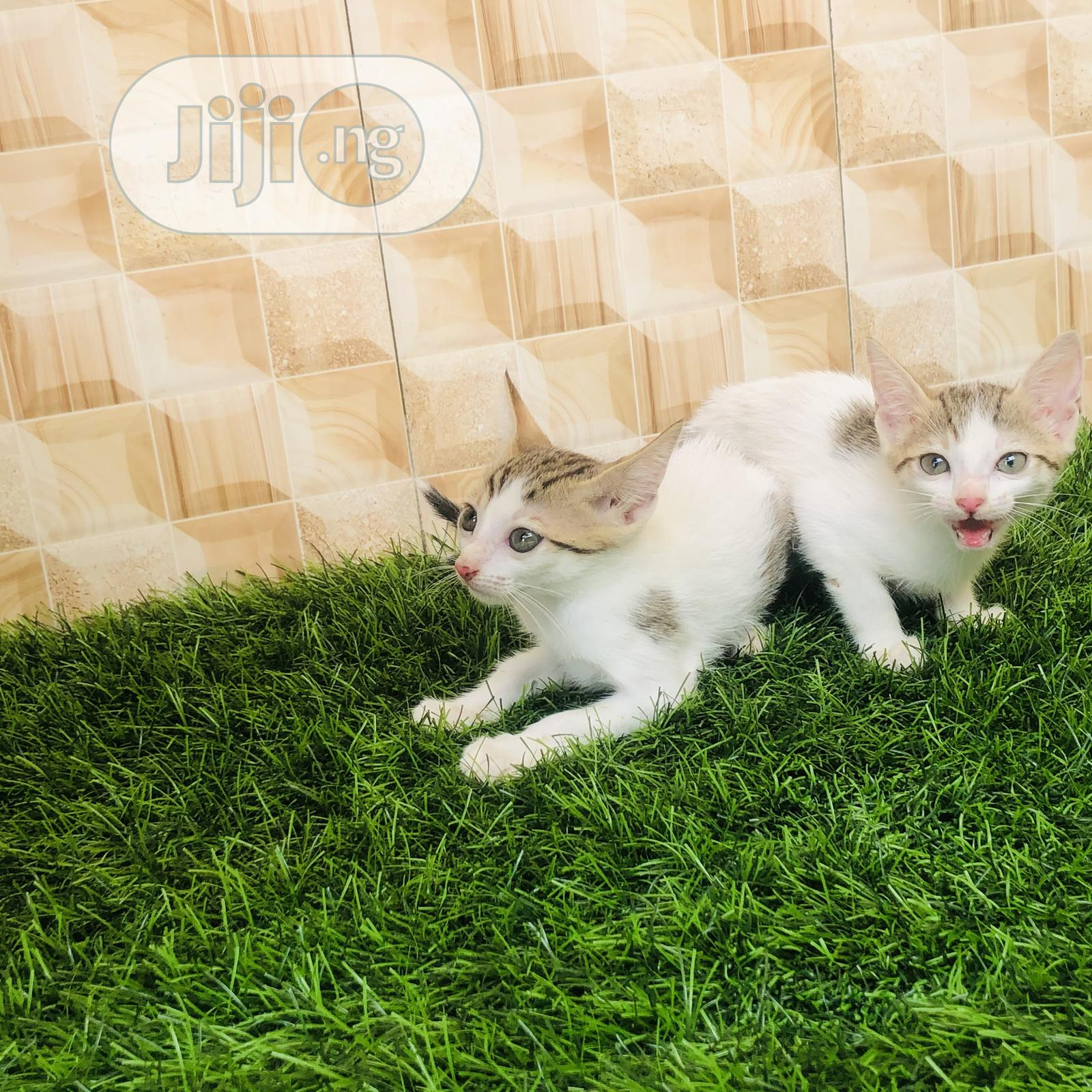 1-3 month Female Purebred Cat | Cats & Kittens for sale in Ikorodu, Lagos State, Nigeria